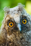 Baby owl Stock Photography