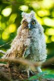 Baby owl Royalty Free Stock Photo