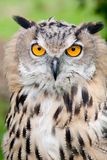 Baby owl staring into camera Royalty Free Stock Photography