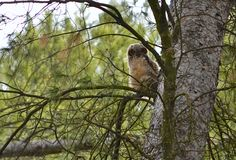 Baby owl in tree Royalty Free Stock Photos