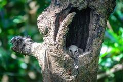 Baby Owls inside tree hole Royalty Free Stock Photos