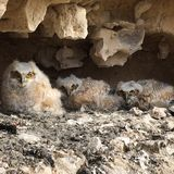 Baby owls Royalty Free Stock Images