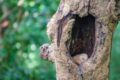 Baby Owls sleeping inside tree hole Royalty Free Stock Image
