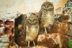 Baby owls. Yellow-eyed - baby owls in Brazil Royalty Free Stock Photo