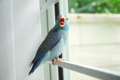 Baby Pacific Parrotlet, Forpus coelestis Royalty Free Stock Photo