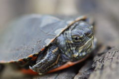 Baby Painted Turtle. A Midlands Painted Turtle Hatchling that seems angry to me Royalty Free Stock Images