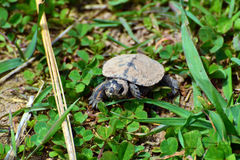 Baby painted turtle Stock Images