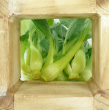 Baby pak choi Stock Photography
