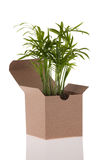 Baby palm in box Stock Photo