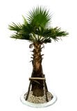 Baby Palm tree. The Baby Palm tree on white blackground Stock Images