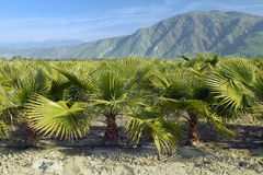 Baby palm trees growing in palm tree farm Stock Photos