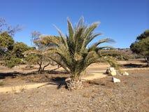 Baby Palmtree Royalty-vrije Stock Foto's