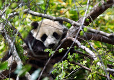 Baby Panda. Panda cub clings to tee branch Royalty Free Stock Images