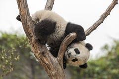 Baby Panda Royalty Free Stock Photos