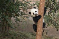 Free Baby Panda Royalty Free Stock Photo - 53791355