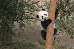 Baby Panda. A baby panda climbing tree Royalty Free Stock Photo