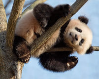Baby panda climbing tree Stock Image