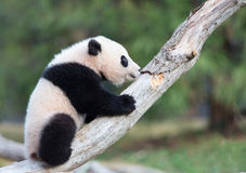 Baby panda climbing tree Royalty Free Stock Photos