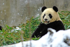 A baby panda is eating bamboo in bifengxia Stock Photography
