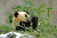 A baby panda is eating bamboo in bifengxia Stock Image