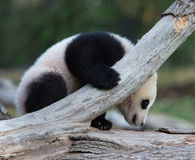 Baby panda on fallen tree branch Royalty Free Stock Photos