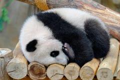 Baby panda. Hugs his leg Stock Photo