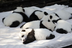 Baby panda. Lovely baby panda is sleeping stock image