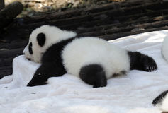 Baby panda. Lovely baby panda is sleeping Stock Photo