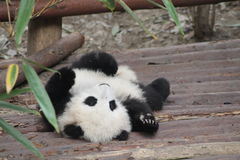 A baby panda. Lying down Stock Image