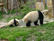 Baby panda with mother drinking water Royalty Free Stock Photos