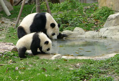 Baby panda with mother drinking water stock photography