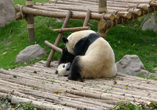 Baby panda with mother royalty free stock image