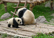 Baby panda with mother. Located in in Chengdu research base of giant panda breeding Stock Image