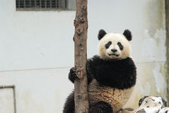 A baby panda is sitting beside the tree in bifengxia Royalty Free Stock Image