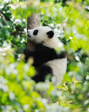 Baby Panda on the tree Stock Photography