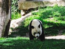 Baby Panda In A Zoo. This photo was made at the zoo in madrid where this panda baby was stock photo