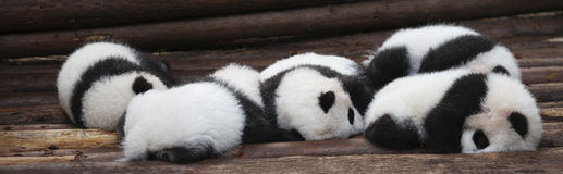 Baby Pandas Stock Photography