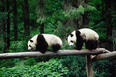 Baby Pandas. In wolong Research Base of Giant Panda Breeding,west of China Stock Image