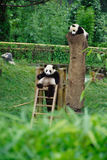 Baby Pandas. In wolong Research Base of Giant Panda Breeding,west of China Stock Photos