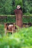 Baby Pandas Stock Image