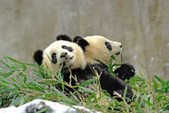Baby pandas are eating bamboo in bifengxia Royalty Free Stock Photography
