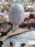 Baby parasol mushroom Stock Photos