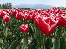 Baby and parent tulips. Tulip field in spring time stock image