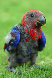Baby parrot royalty free stock photography