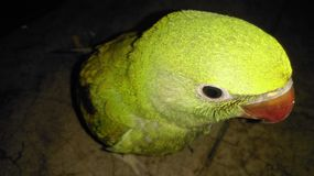 Baby parrot. Full green with dark eyes Royalty Free Stock Images