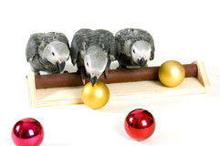 Baby parrots playing with christmas balls Royalty Free Stock Image