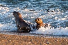 Baby pasgeboren zeeleeuw op het strand in Patagonië stock afbeelding