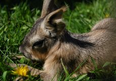 Baby Patagonian Cavy Stock Photos