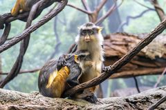 Baby Patas monkey snack at Bronx zoo. Spring is a good time to see new babies at Bronx zoo and many animals outside. Here, Patas monkey female feeding her baby Stock Image