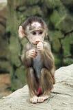 Baby-Pavian Stockfotos